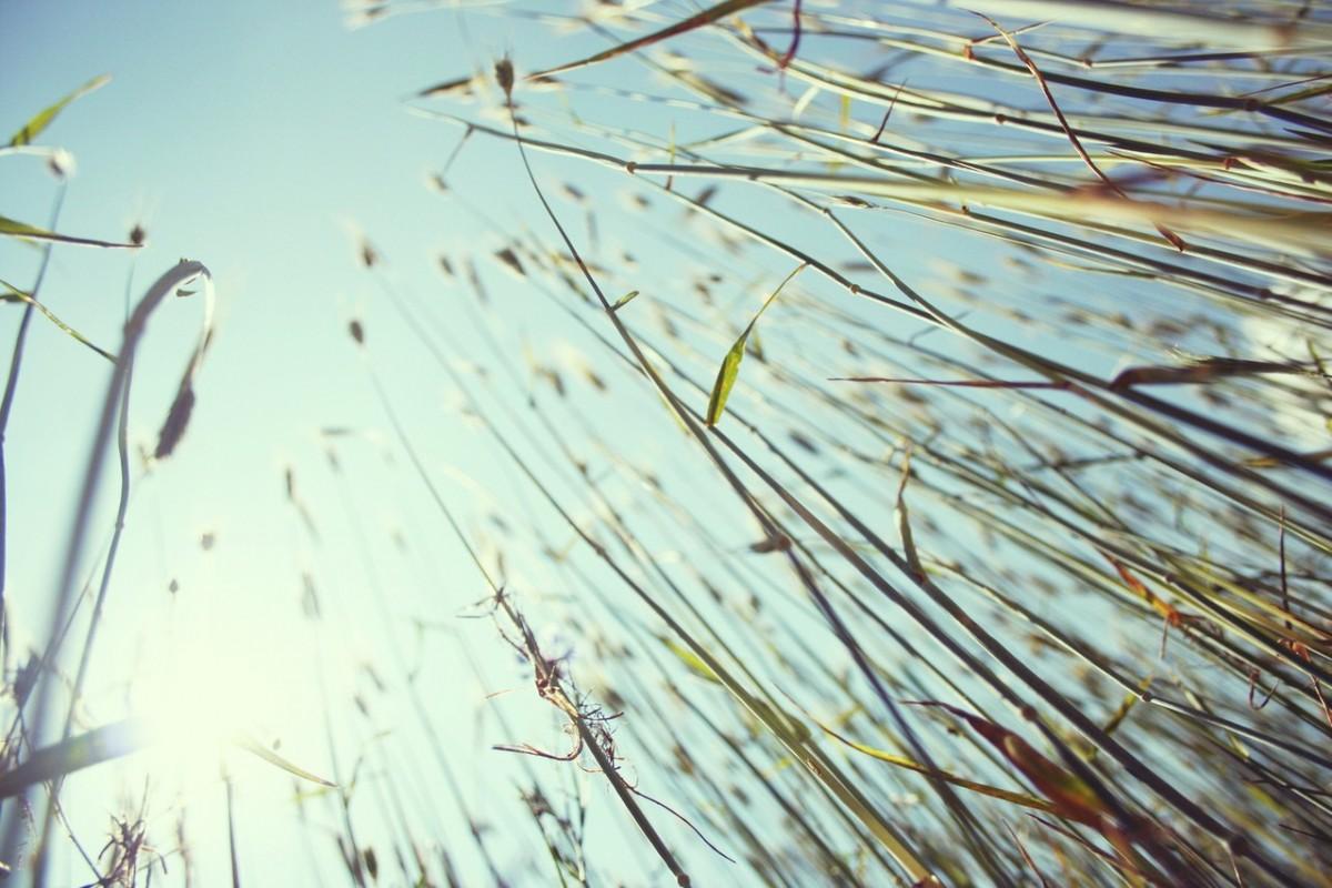 Chwasty średniowrażliwe w pszenicy