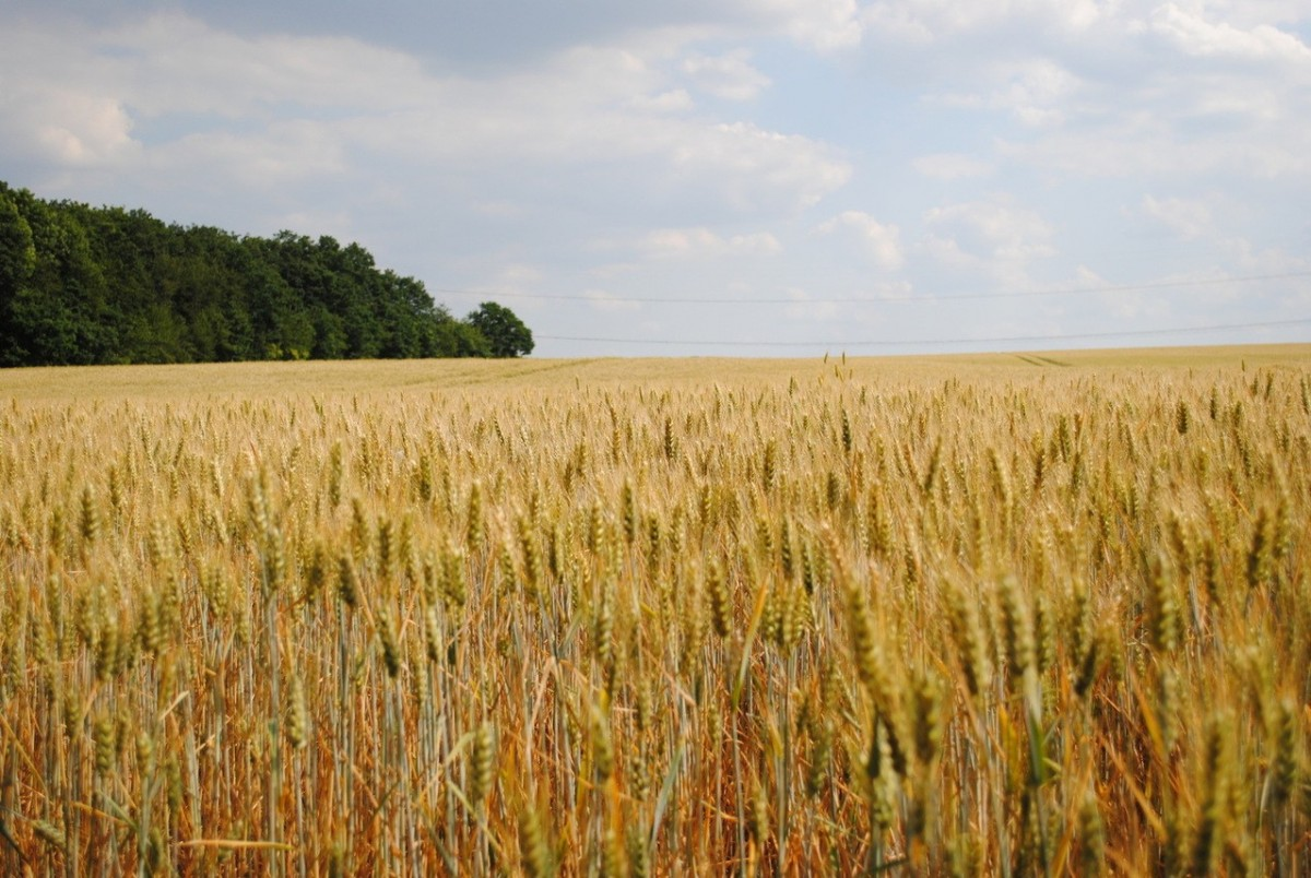 Chwasty w pszenicy-jak się rozwijają?